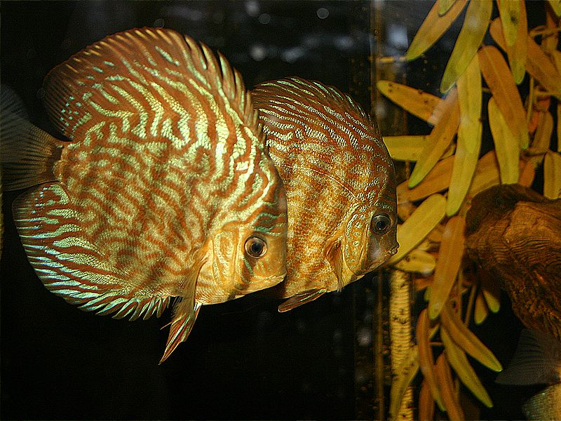 King of Freshwater fish the Discus