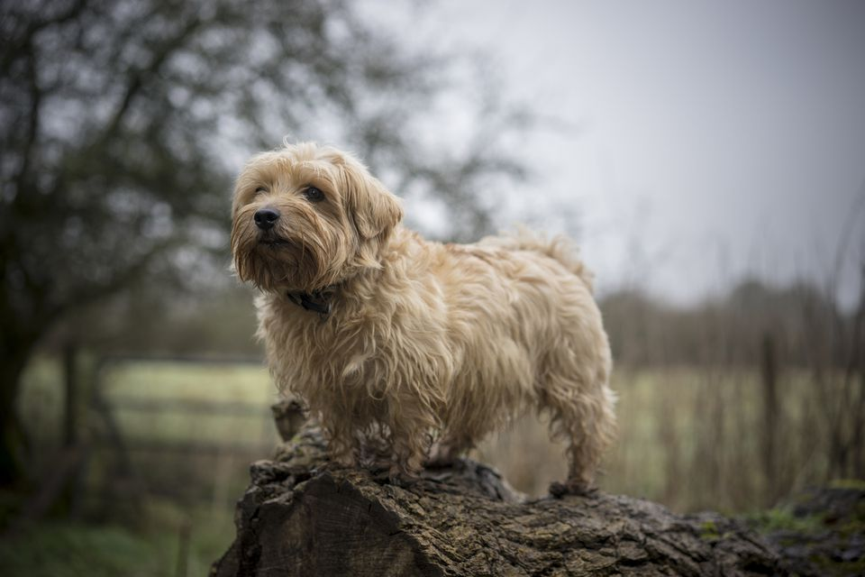 Norfolk terrier standing outdoors