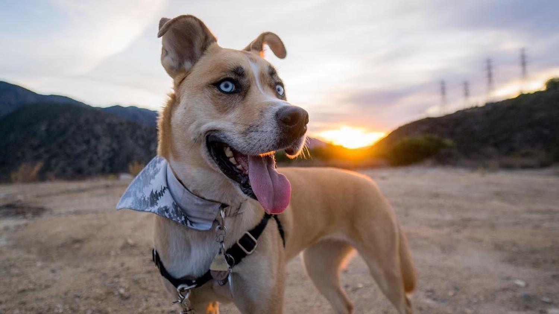 Husky/boxer mix named Frankie