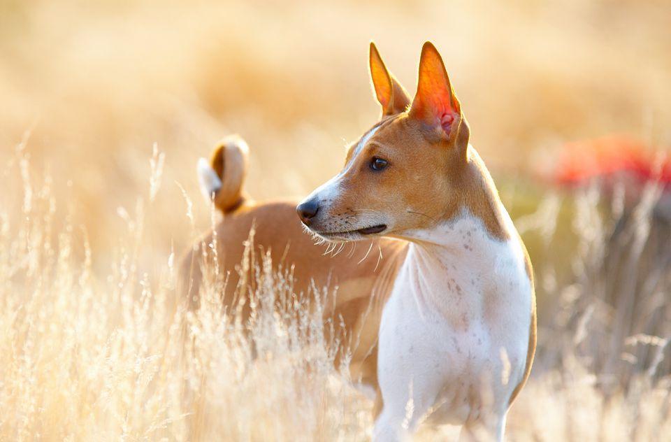 Retrato de Basenji; Nombres de perros africanos
