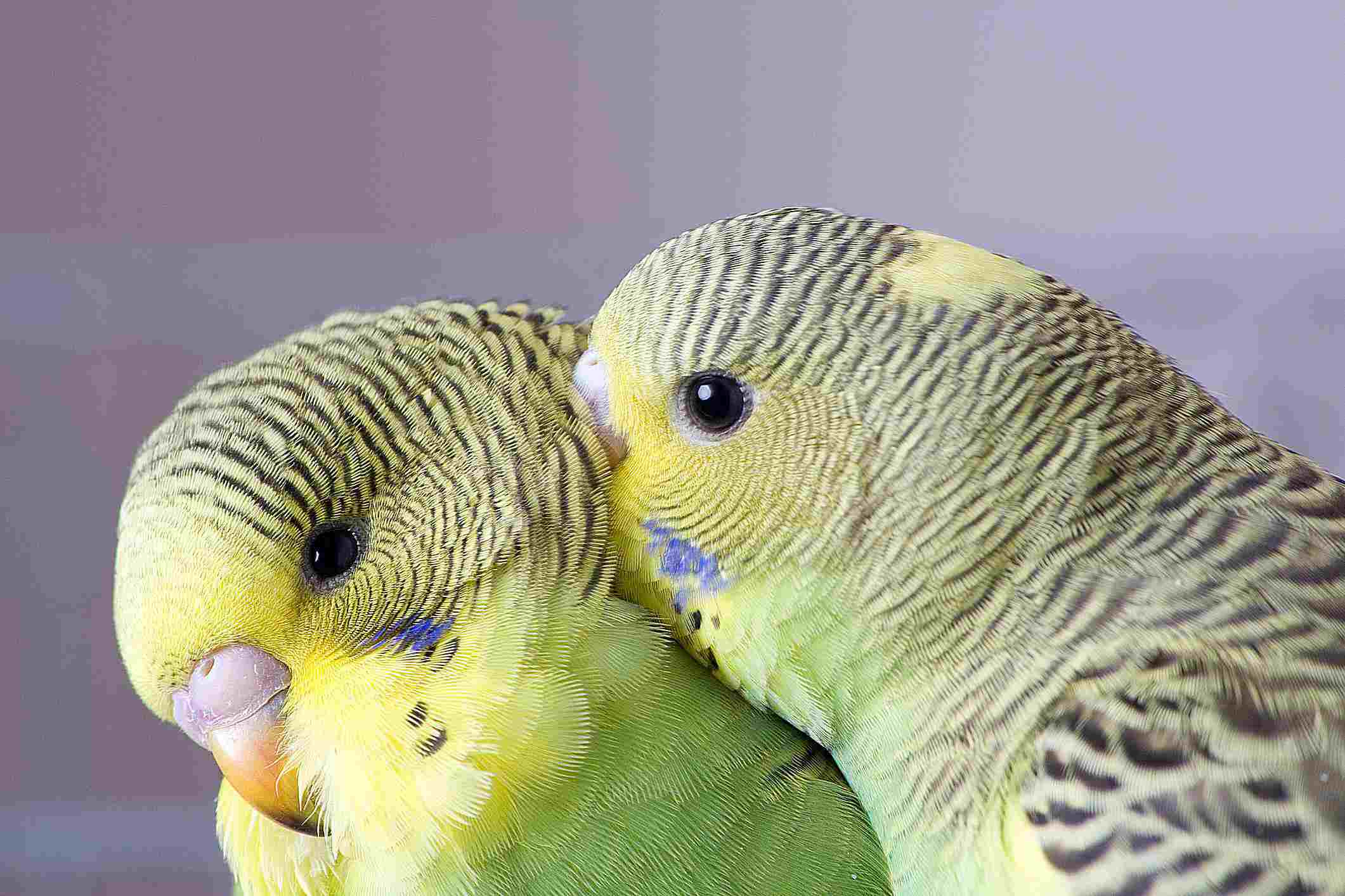 Two green budgies preening