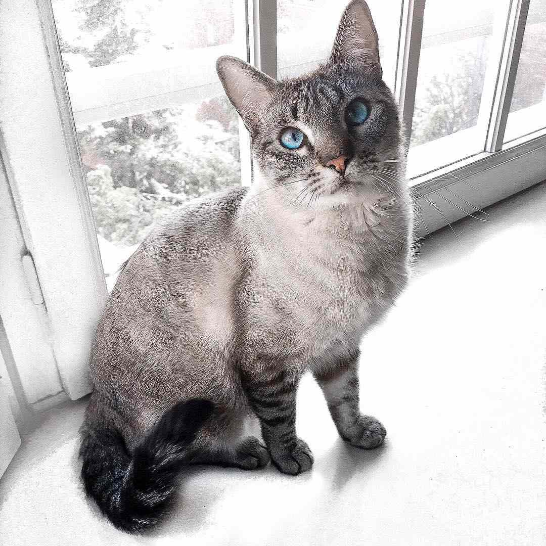A Siamese cat sitting in front of a window.