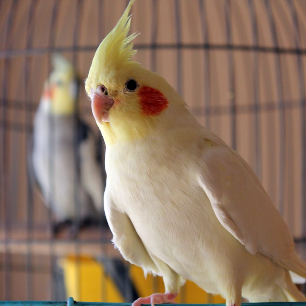 8 Best Birds For Apartment Living