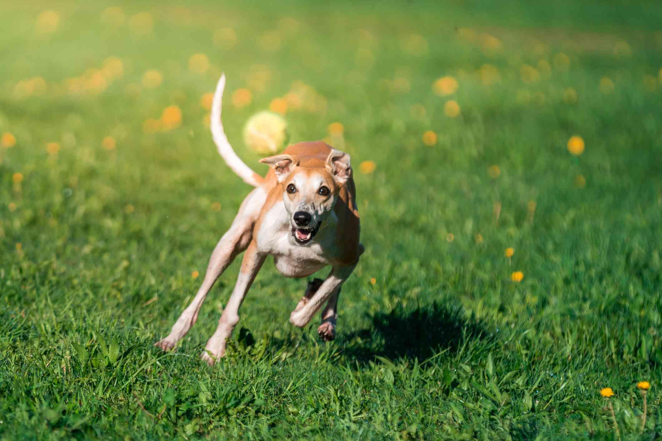 Whippet persiguiendo la pelota