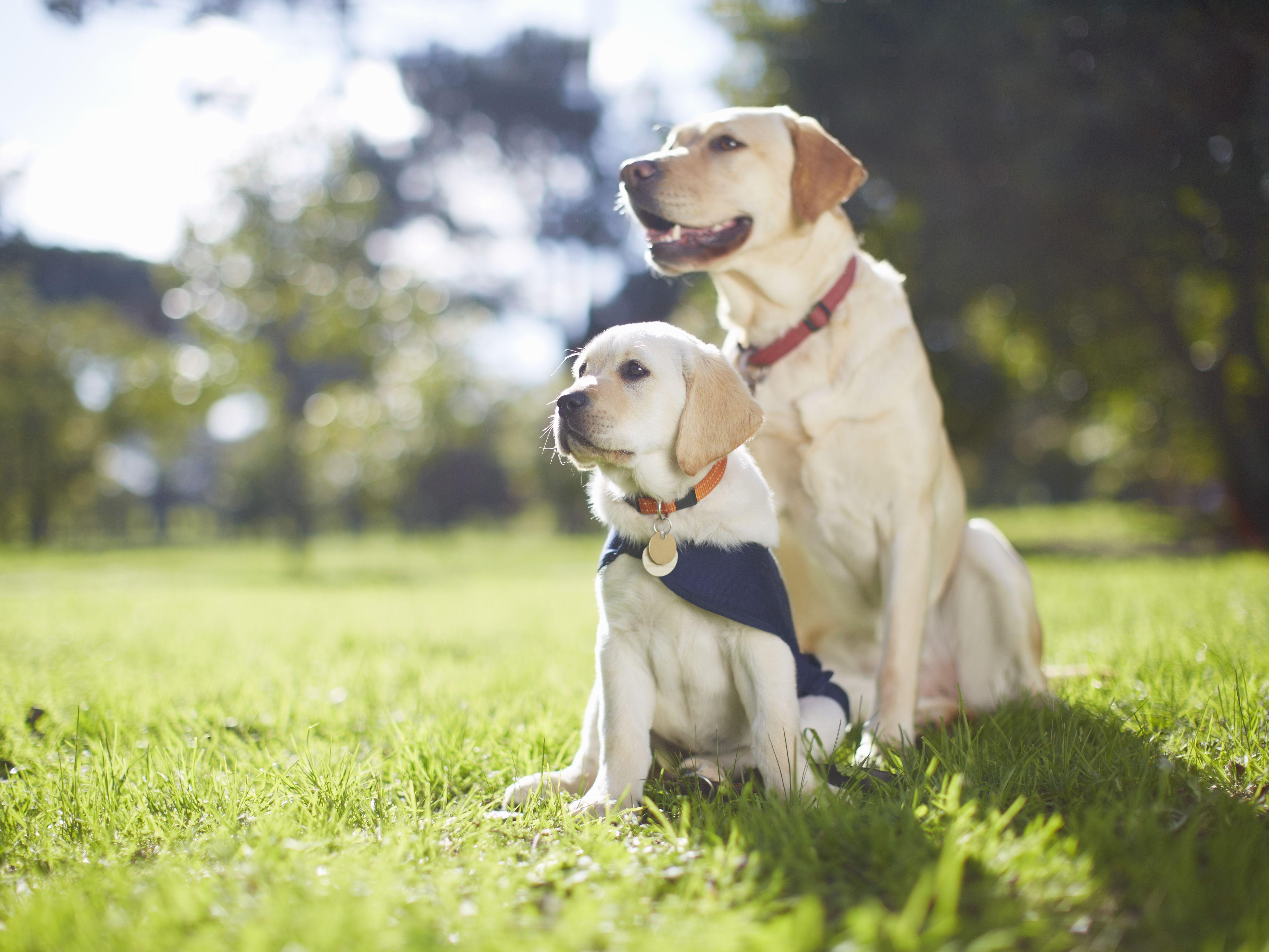 How To Adopt A Failed Service Dog