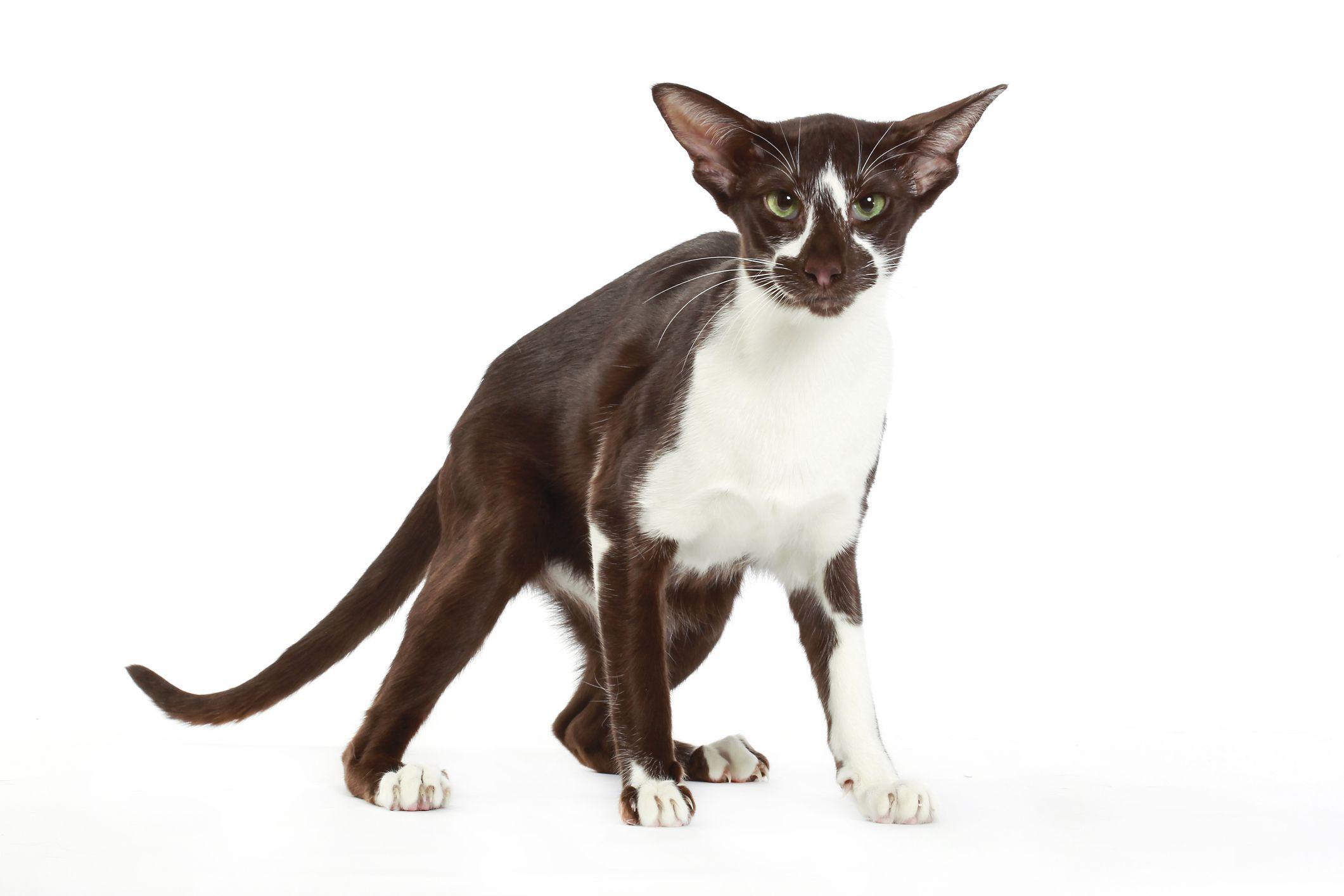 Black and white Oriental Shorthair