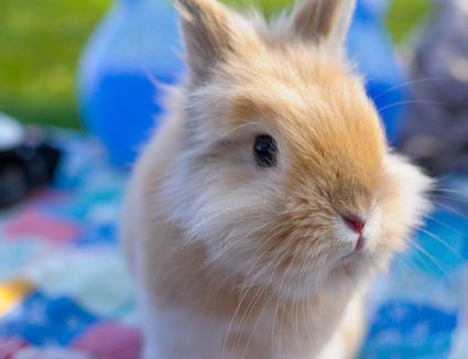 Close up of a dwarf rabbit
