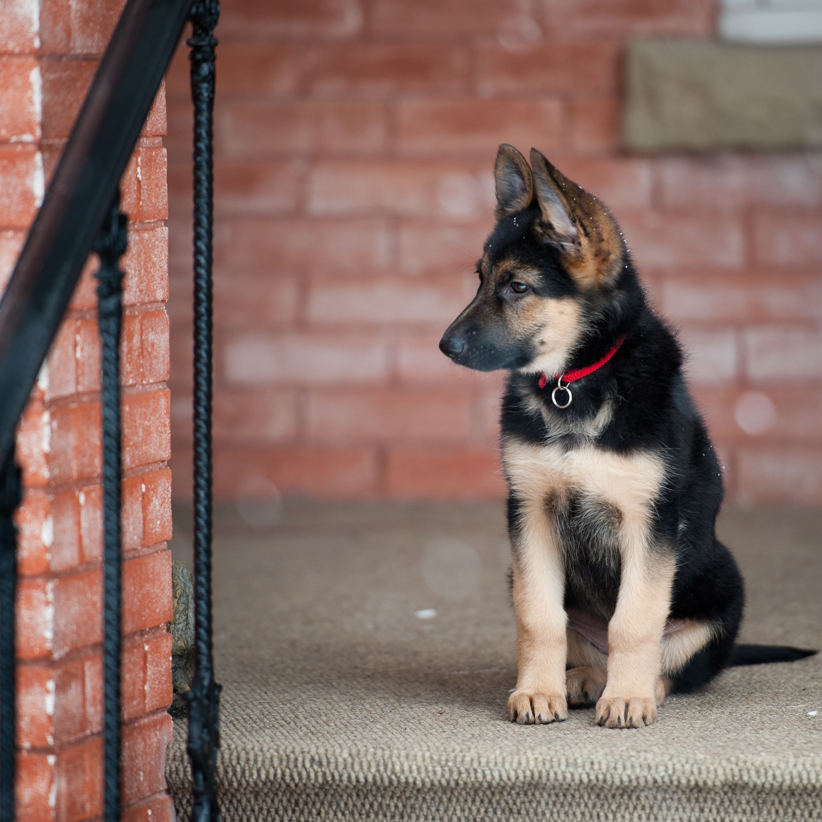 Choosing A German Shepherd Puppy