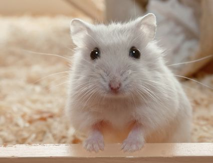 Hamster with front feet on ledge
