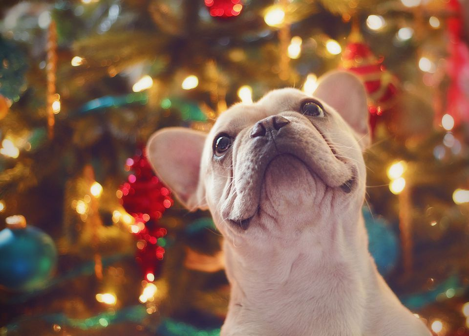 Christmas Dog.Are Christmas Trees Poisonous To Cats And Dogs