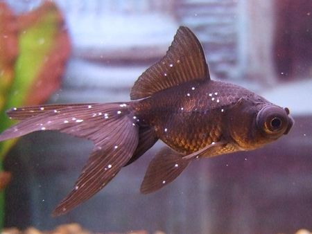 How To Treat The Most Common Of All Aquarium Pests