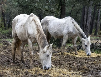 Two Older Horses With Hollow Backs