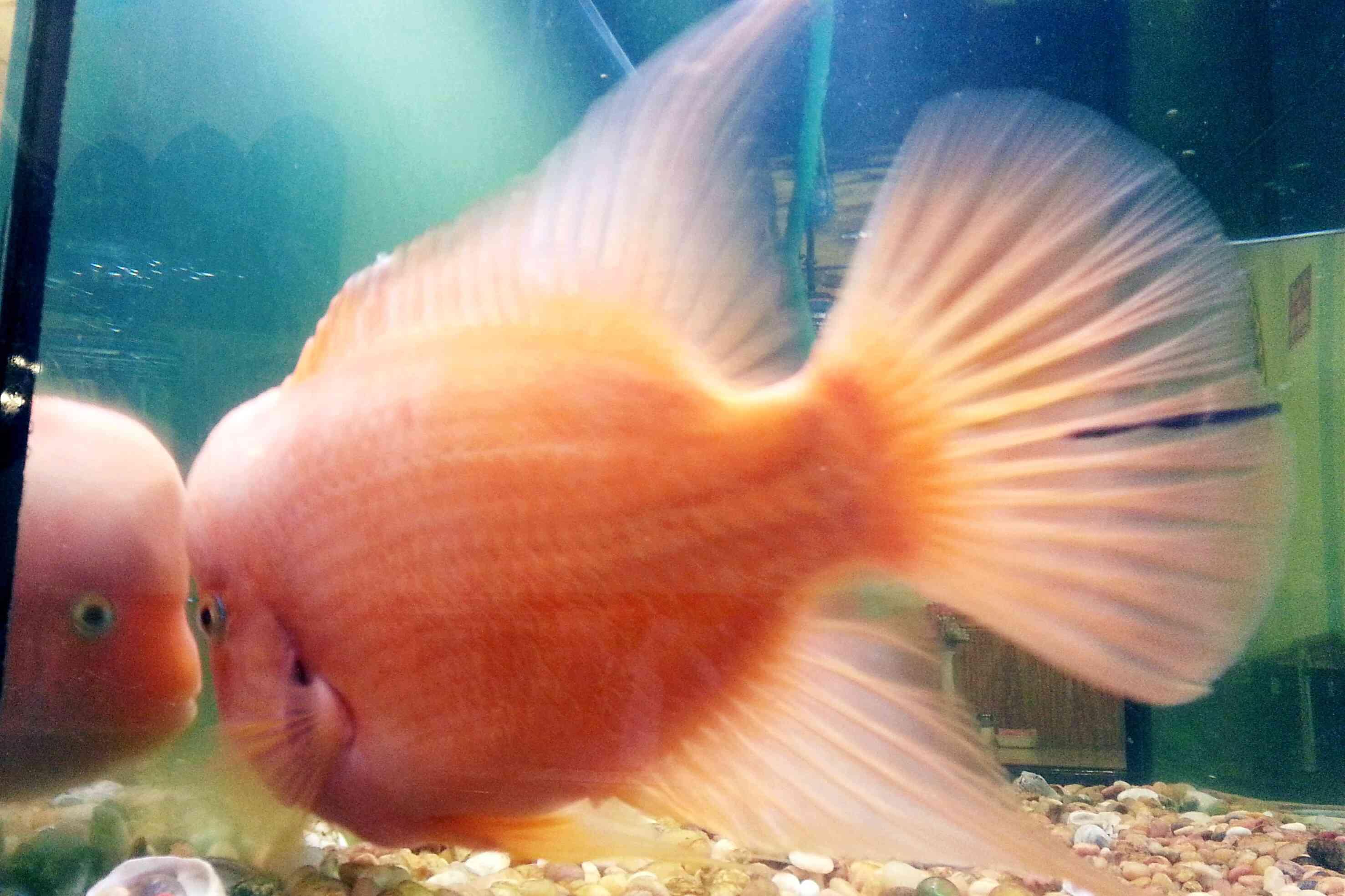 A cichlid in an aquarium
