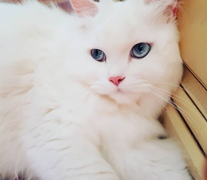 Persian Cat