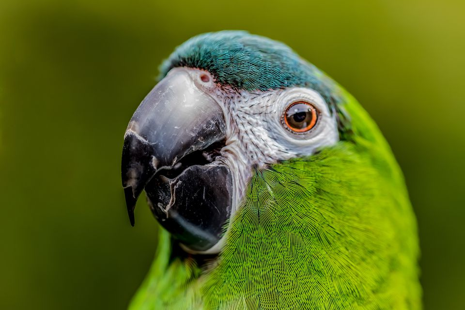 Hahn's Macaw face