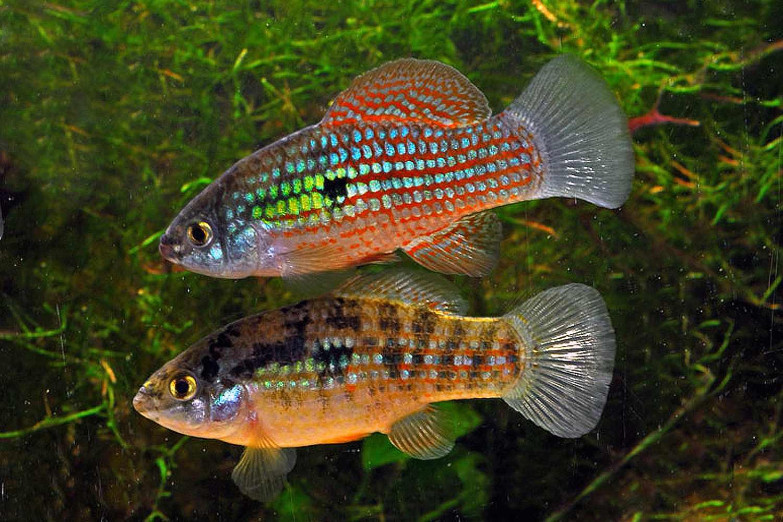 Two American Flagfish (Jordanella floridae) swimming in a tank.