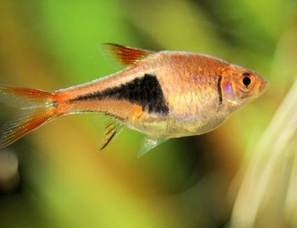 Harlequin Rasbora - Trigonostigma heteromorpha