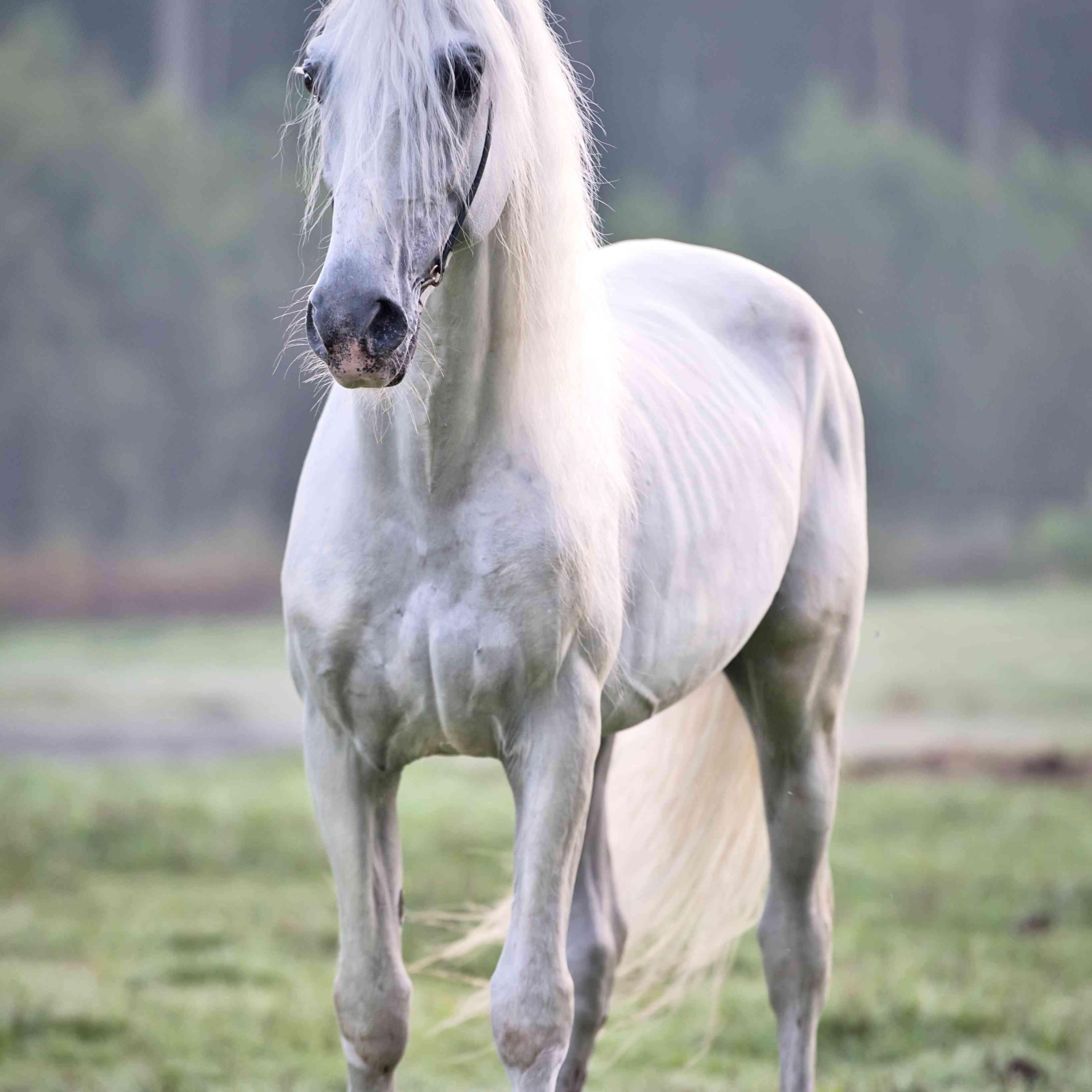 Grey Orlov Trotter in a field