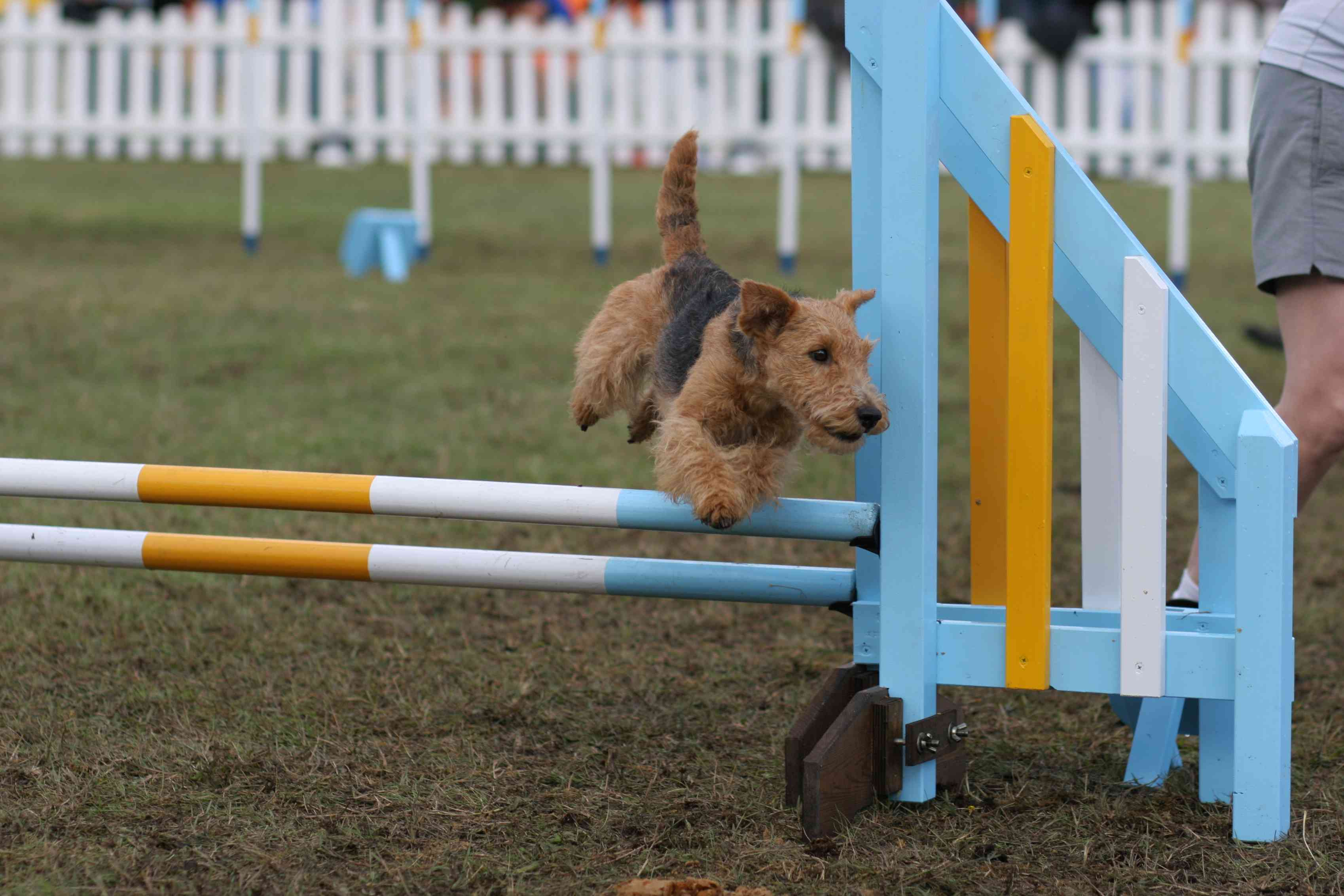 A Welsh Terrier doing a jump at agility