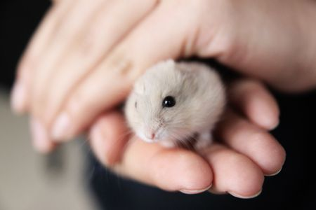 Keeping and Caring for Chinese Striped Hamsters as Pets