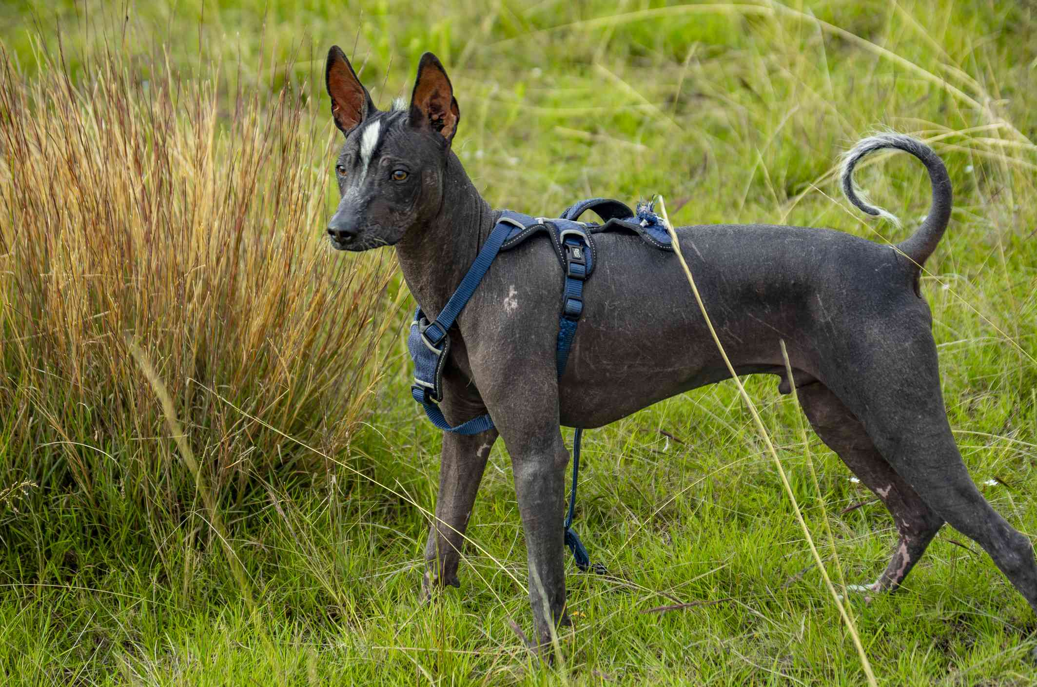 Dark gray Peruvian Inca Orchid standing in field in a blue harness.