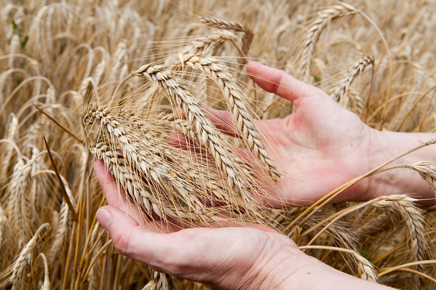 Protect Your Pet Against Cheat Grass and Foxtail