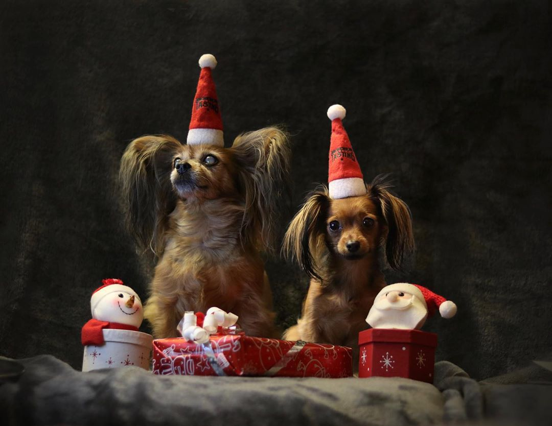 Two small dogs with fluffy ears wearing Santa hats.
