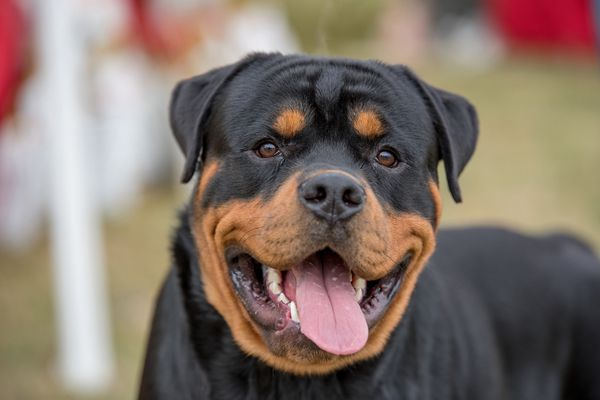 Rottweiler smiling with its tongue out