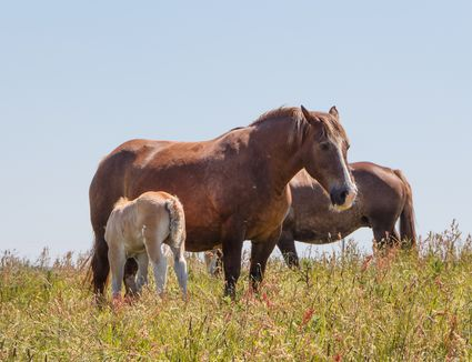 Breton mare and foal grazing in a field