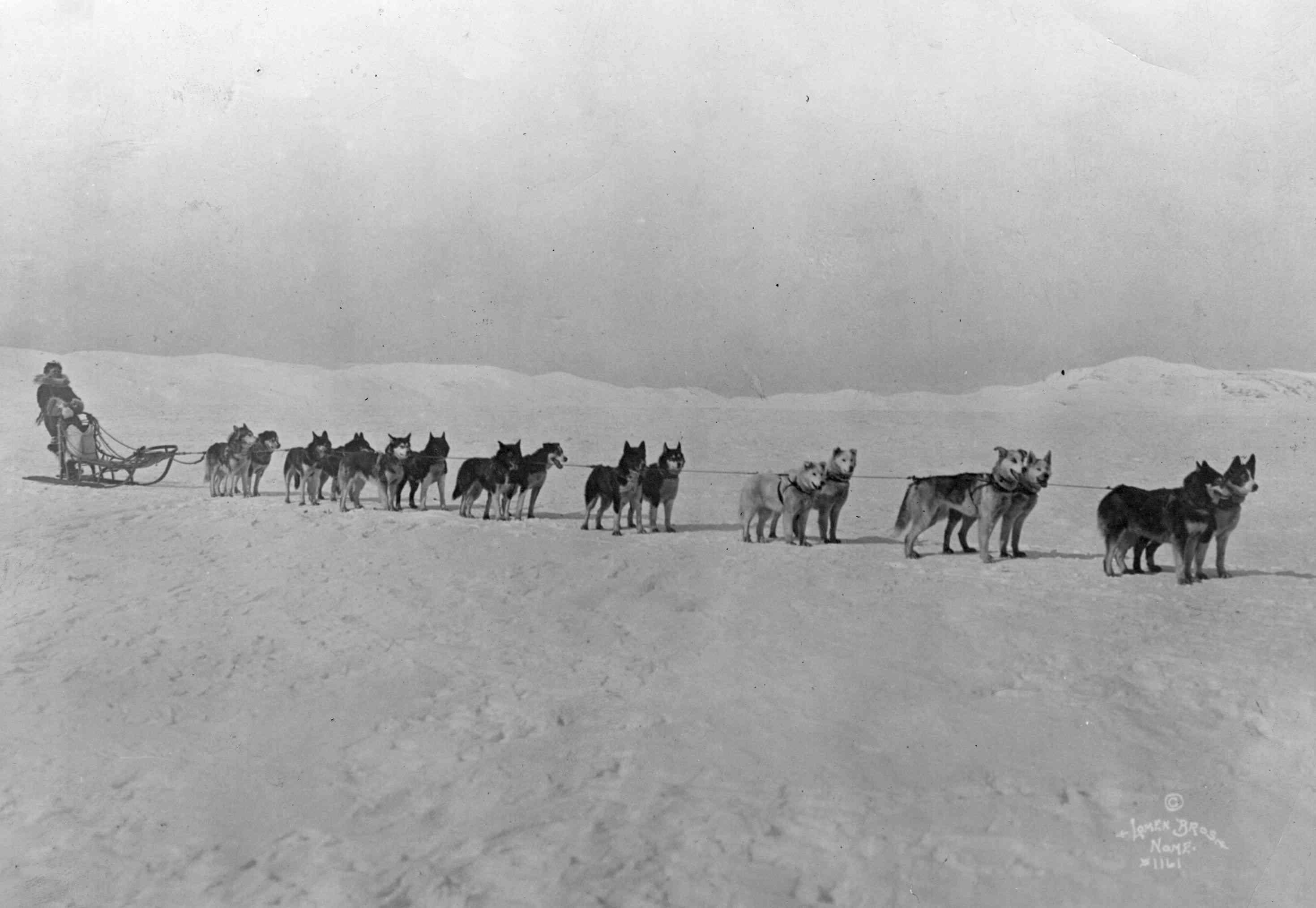 Leionhard Seppala y sus corredores siberianos, los perros de trineo Inuit del noroeste, en la primera fotografía de la partida de Amundsen hacia el Polo Norte.