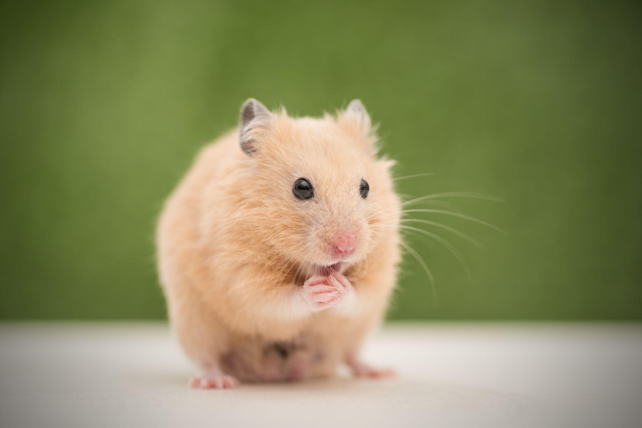 Syrian (Golden) Hamster (Mesocricetus auratus)