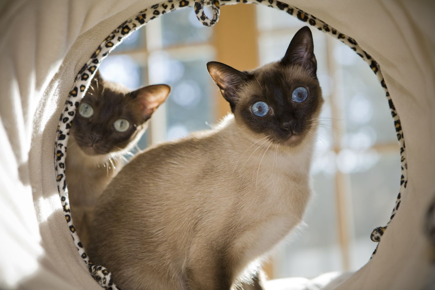 tonkinese cats in a tunnel