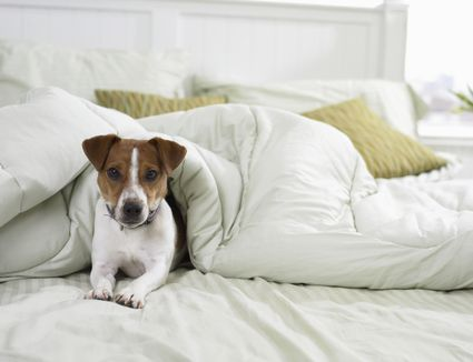 dog on bed