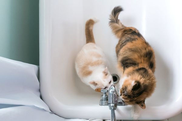 cats drinking from the tub spout in the bathroom