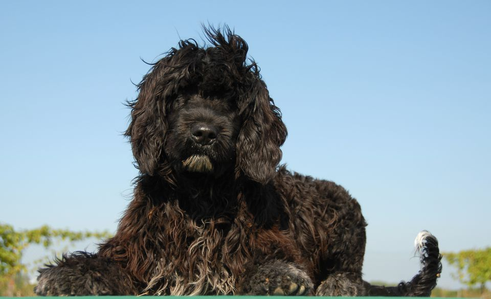 Portuguese water dog against blue sky