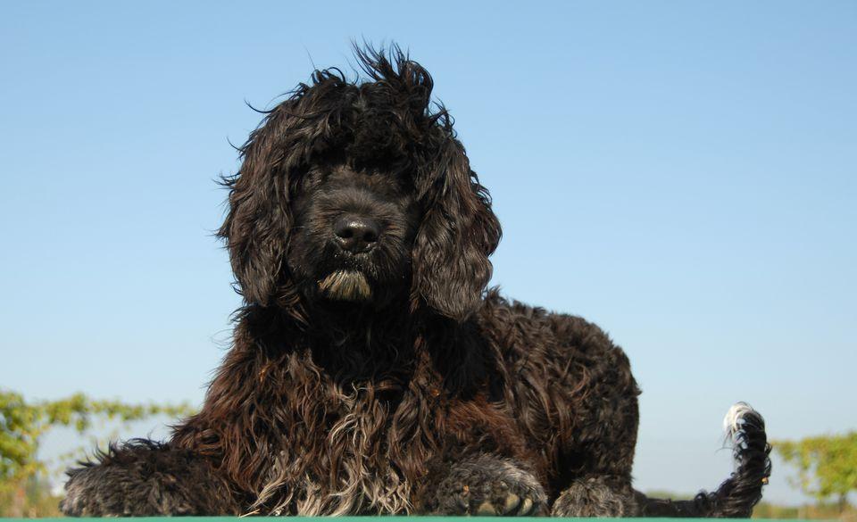 Perro de agua portugués contra el cielo azul