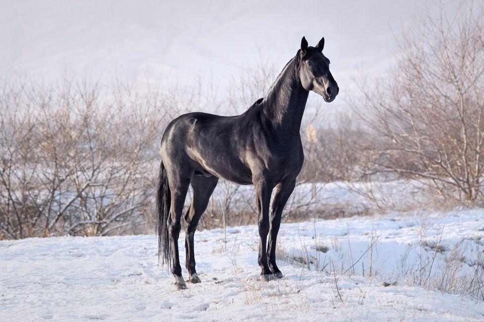 Tall black horse
