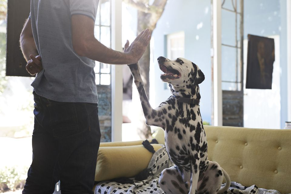 Training dalmatian dog