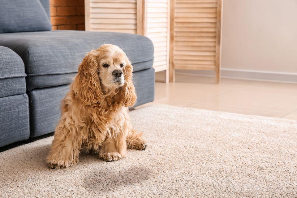 perro sentado junto a la mancha húmeda en el piso