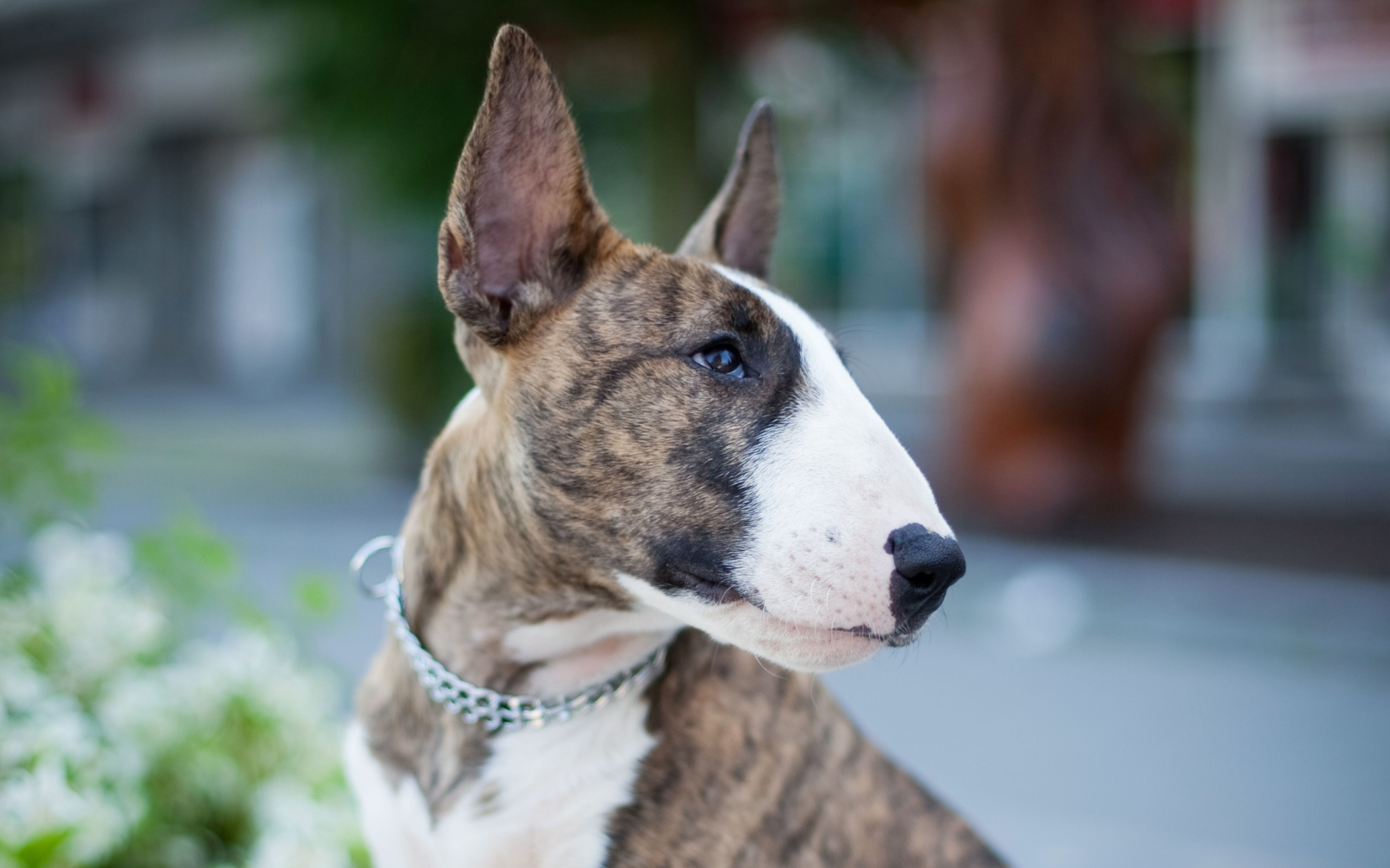 Bull Terrier Full Profile History