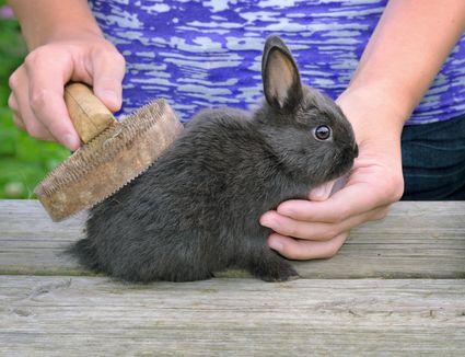 Brushing Rabbit