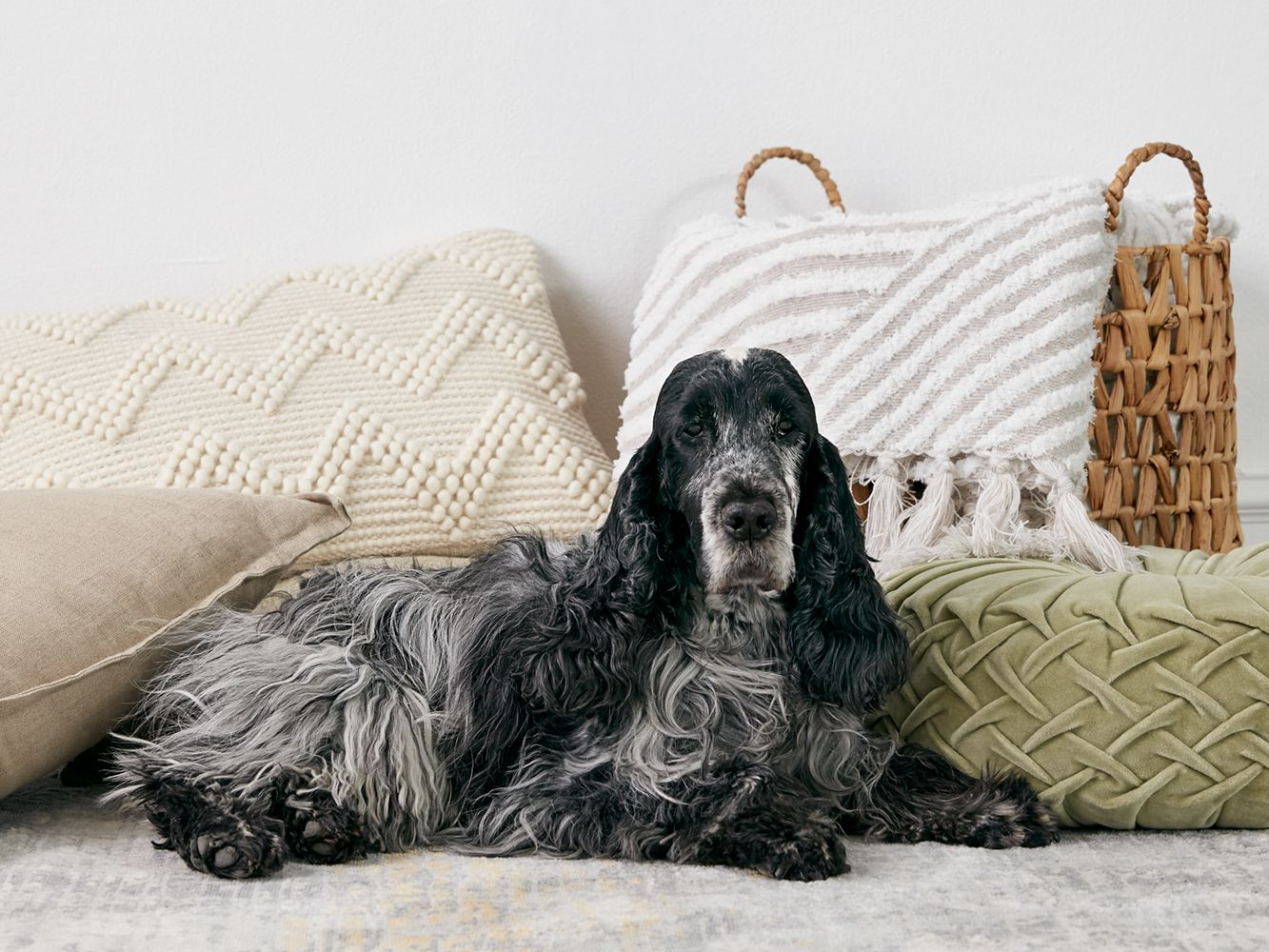 English Cocker Spaniel Full Profile History And Care