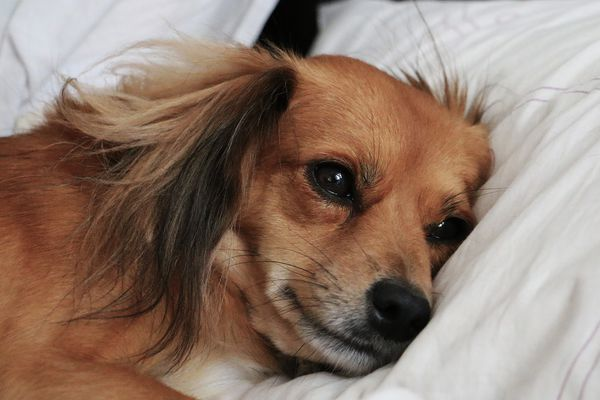 Sick-looking dog resting head on pillow.