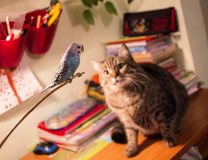 Tabby cat sitting on a desk staring at a blue parakeet
