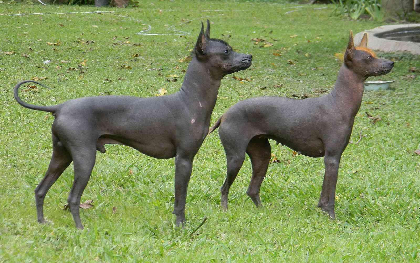 Argentine pila dog
