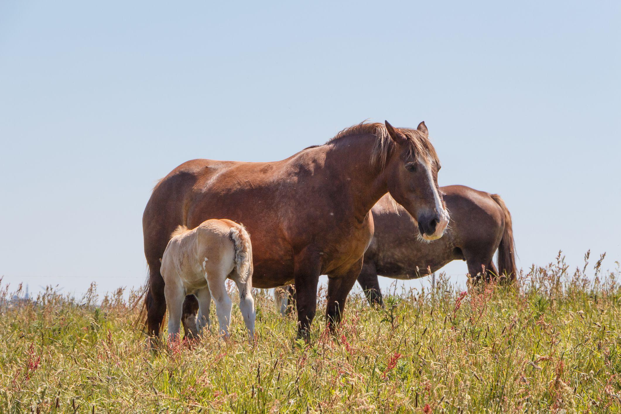 Breton Horse: Breed Profile