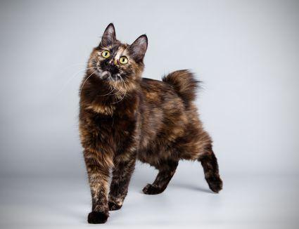 Kurilian Bobtail cat