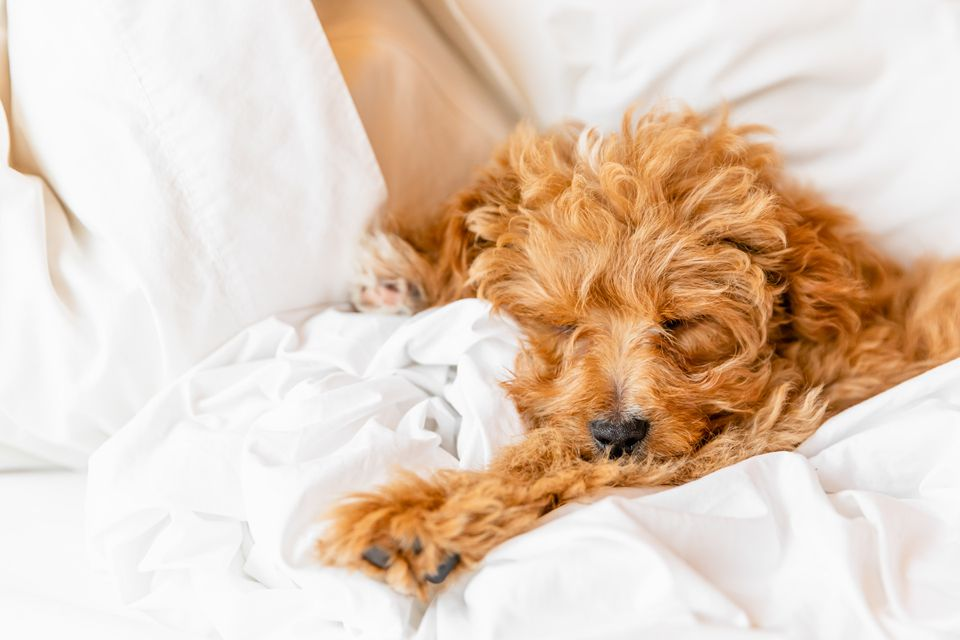 Light brown fluffy dog sleeping in next of blankets and pillows on bed