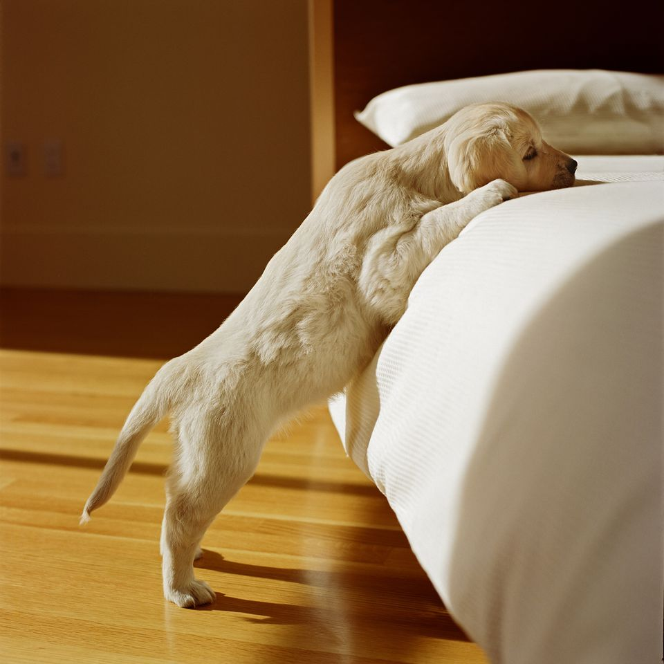 golden retriever puppy standing on hind legs with front paws on a bed