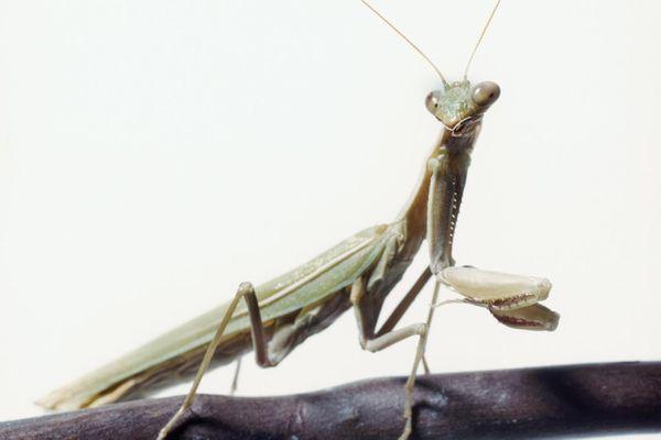 Close-up of a praying mantis on a stick